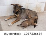 large stray bitch lying down... | Shutterstock . vector #1087236689