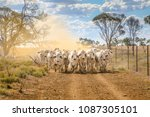 Brahman Cattle Coming Up A...