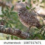 burrowing owl in florida  | Shutterstock . vector #1087317671