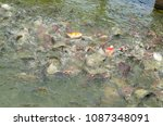 crowd of many different fish... | Shutterstock . vector #1087348091