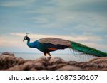 beautiful color of male indian... | Shutterstock . vector #1087350107