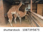 Small photo of Copulation. Llama copulate
