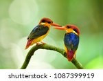 Small photo of Sweet pair of Black-backed or Oriental dwarf kingfisher (Ceyx erithaca) colorful birds perching together on wooden branch in breeding season at Kaeng krachan national park, exotic animal