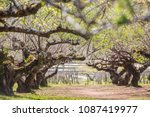 chinese plum tree  blooming... | Shutterstock . vector #1087419977