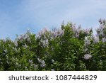 beautiful lilac against the... | Shutterstock . vector #1087444829