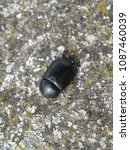 Small photo of macro scarab insect