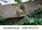 California Grey Squirrel...