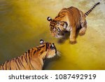 close up two tigers  panthera... | Shutterstock . vector #1087492919