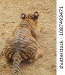 portrait the back of tiger ... | Shutterstock . vector #1087493471