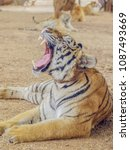 close up a tiger open wide... | Shutterstock . vector #1087493669