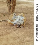 close up a tiger sleeping on... | Shutterstock . vector #1087493711