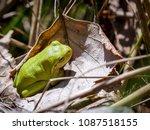 the american green tree frog ... | Shutterstock . vector #1087518155