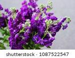 Matthiola Purple Flowers