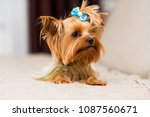 miniature dog breed yorkshire... | Shutterstock . vector #1087560671