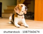 an adult dog of the beagle... | Shutterstock . vector #1087560674