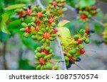 Seeds Of Yellow Ochna...