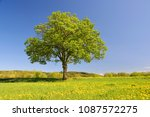 old maple tree on meadow with... | Shutterstock . vector #1087572275