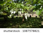 a rare flowering dove tree ... | Shutterstock . vector #1087578821
