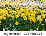 field of blooming  daffodils on ...   Shutterstock . vector #1087585115