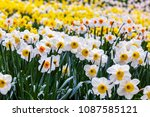 field of blooming  daffodils on ...   Shutterstock . vector #1087585121