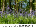native english bluebells in... | Shutterstock . vector #1087590311