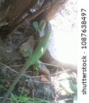 lizard in the shade | Shutterstock . vector #1087638497