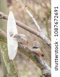 pair of zebra finches in an... | Shutterstock . vector #1087672691