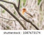 closeup of a garden robin... | Shutterstock . vector #1087673174