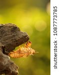 Small photo of The carcass of molting cicada. On the tree.