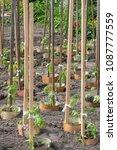 tomato plant growing in soil | Shutterstock . vector #1087777559