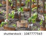 tomato plant growing in soil | Shutterstock . vector #1087777565