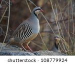chukar partridges in rocky... | Shutterstock . vector #108779924