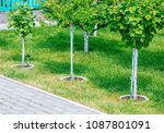 young tree plantation close up | Shutterstock . vector #1087801091