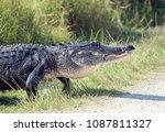 Large American Alligator...