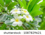 frangipani flower or plumeria... | Shutterstock . vector #1087829621