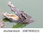 the crocodile head popped up... | Shutterstock . vector #1087830221