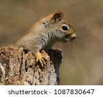 red squirrel on post | Shutterstock . vector #1087830647