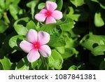 pink impatient flower blooms | Shutterstock . vector #1087841381