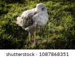 bird on grass | Shutterstock . vector #1087868351
