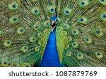 shrieking peacock framed by... | Shutterstock . vector #1087879769