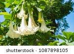 White Trumpet Flowers....