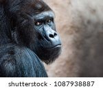 the face of an orangutan.... | Shutterstock . vector #1087938887