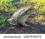 cane toad in nature  uruguaiana ... | Shutterstock . vector #1087945475