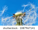 close up of a dandelion or... | Shutterstock . vector #1087967141