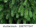 branches of a green tree | Shutterstock . vector #1087977347