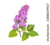 Blossoming Lilac Isolated On...