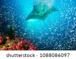 huge oceanic manta ray swimming ... | Shutterstock . vector #1088086097