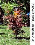Small photo of Young tree of palmate maple. Japanese maple tree Atropurpureum (Acer palmatum)