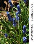 blue muscari armeniacum  grape... | Shutterstock . vector #1088222771