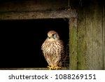 female eurasian kestrel  falco...   Shutterstock . vector #1088269151